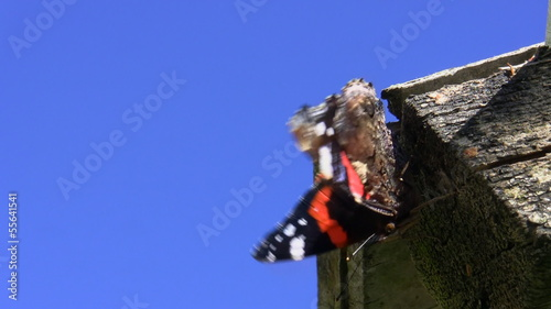 Red admiral (Vanessa atalanta) butterfly defecated