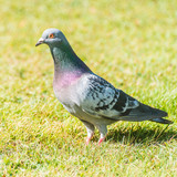 Feral Pigeon poster