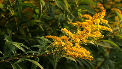 Sunlight at sunset light swaying in the wind yellow flowers.