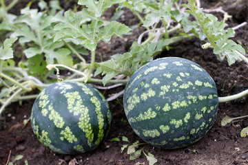 Watermelon in a vegetable garden- young plant