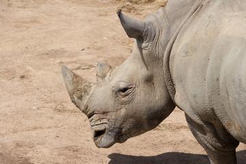 White Rhinoceros Portrait