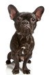 dog french bulldog isolated