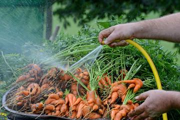 Karotten waschen