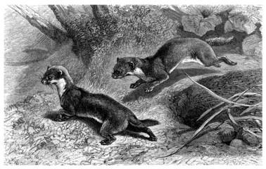 Weasel - Belette - Wiesel