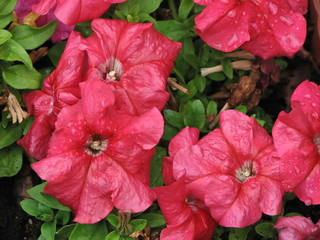 Beautiful red petunia flowers wet from rain