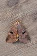 brown moth on wood background