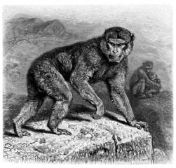 Monkey : Magot - Macaque