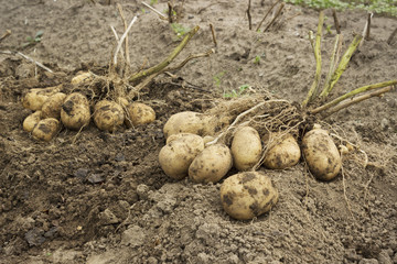Tubers with two bushes in the potato