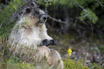 Canadian Marmot Portrait