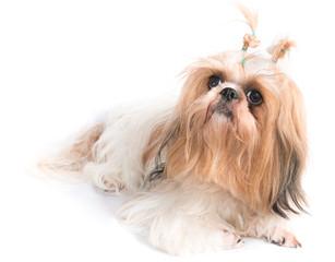 The chi-tzu dog with white background