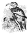 Bird : Calao