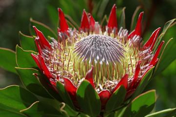 King protea growing on the plant. Hawaii, Maui, USA