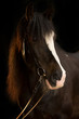 canvas print picture - Irish Cob im Portrait