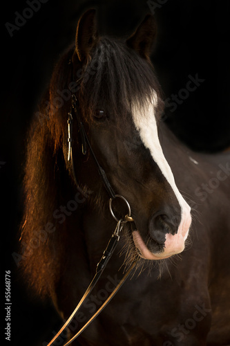 canvas print picture Irish Cob im Portrait