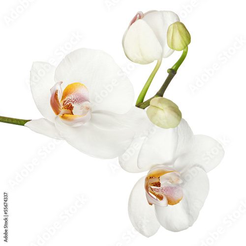White orchid isolated on white background.