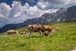 Landcsape with cows on pasture - Dolomites,Italy.