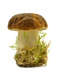boletus on a white background