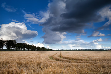 wheat field and dramatic sky