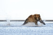 Grizzly Bear running at salmon