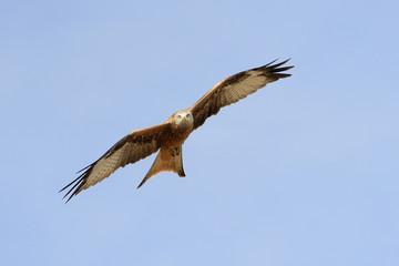 Red Kite flying against blue sky.