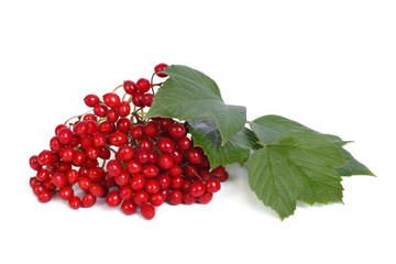 ripe berries of viburnum isolated on white background