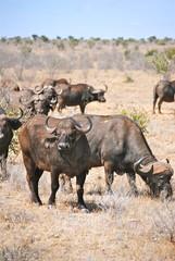 Africa - Kenya - Safari - Tsavo East National Park - Bufali