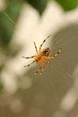 Piége de l'araignée