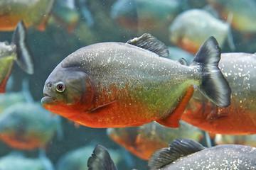 Red piranha (Pygocentrus nattereri)