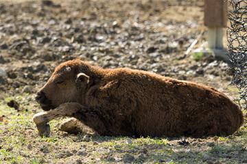 Cucciolo di bisonte seduto