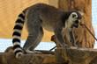 Lemure in primo piano