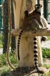 Lemur catta, lemure con cucciolo