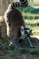 Lemure in primo piano su albero