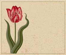 Tulip. Vector vintage template.