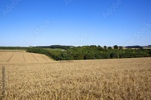golden wheat landscape