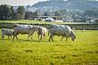 Weissblaue Belgier Kühe