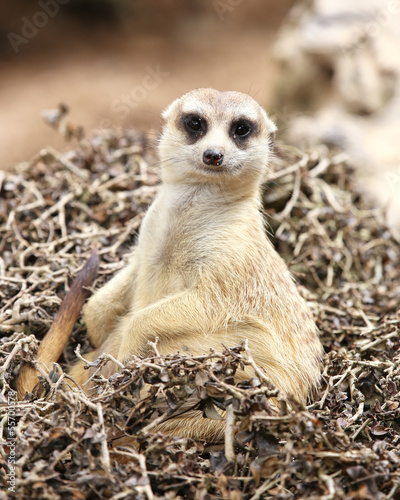 Meerkat sit on tree dry looking camera
