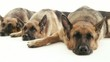 5of14 Group of purebred alsatian dogs on white background, pets