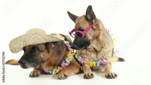 7of14 Group of purebred alsatian dogs on white background, pets