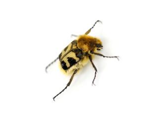 Beebeetle Trichius fasciatus
