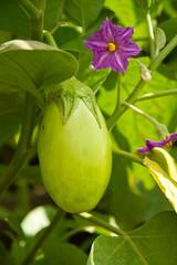 immature aubergine shrub