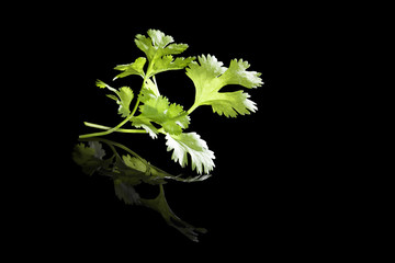 Cilantro isolated on black.