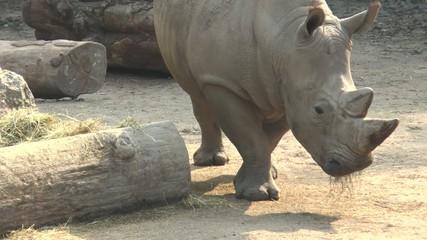 un rhinocéos
