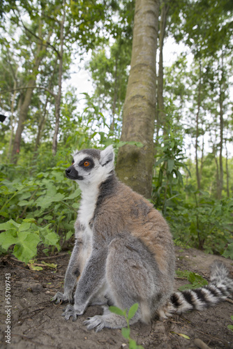 Maki lemur catta in a forest