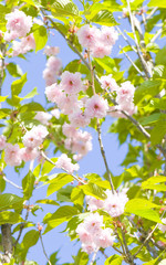 Japanese pink bird cherry tree