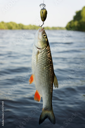 Chub caught on plastic lure