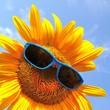 wunderschöne Sonnenblume mit Sonnenbrille