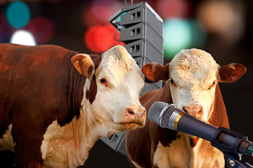 Two cows performing
