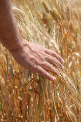Male hand on the golden wheat field