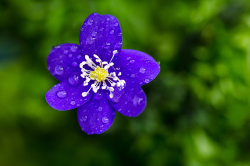 Dew drops on blue flower
