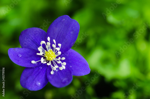 Blue anemone closeup
